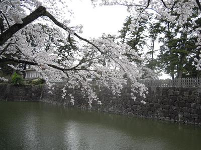 小田原城お濠の桜160406