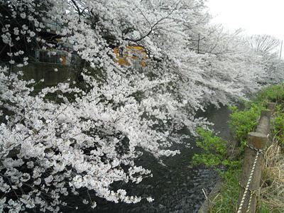 酒匂川横の川の桜160406