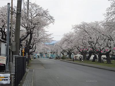 印刷局の桜160406