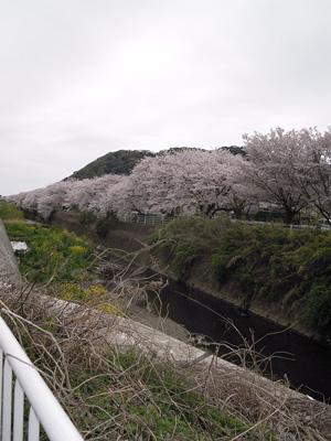 花水川サイクリングロード桜160406