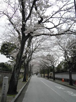 西海子小路の桜160406
