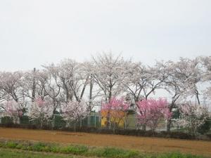 香菜ガーデン傍の学校の桜160406