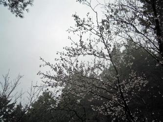 マメ桜0414