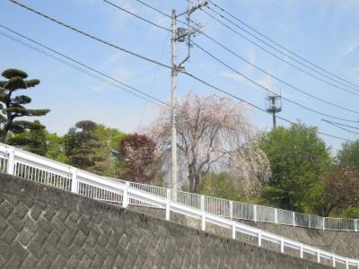 鳥屋の枝垂れ桜160420
