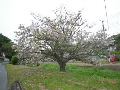 八重の桜160427