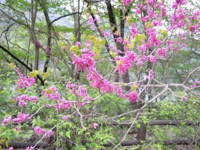 川野駐車場奥多摩周遊道路の処に咲いていた160501