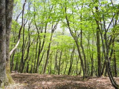 新緑ブナ神之川林道を横切って登ると160505