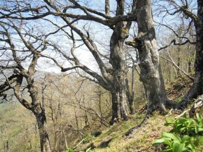 ブナ巨古木山頂手前160505