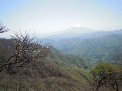 マメ桜と富士山160505