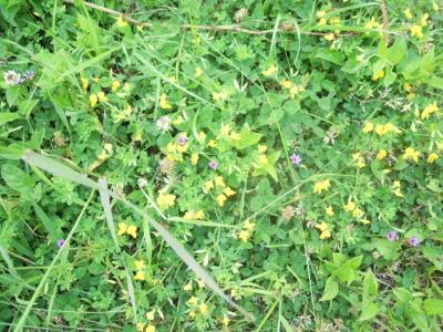 黄色の花160516
