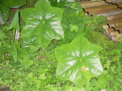 6角の葉っぱ160603