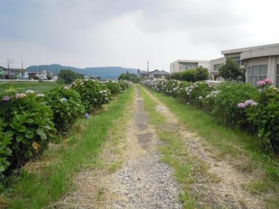 渋田川沿いのアジサイ160606