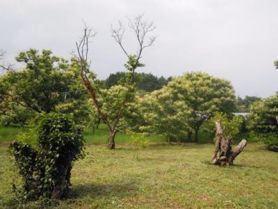 栗の花160606