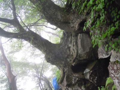 ブナの巨古160621木
