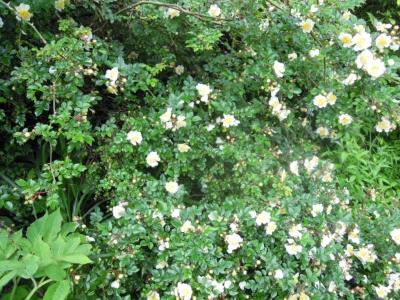 バラ科の花160621