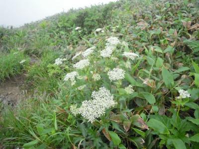 谷川岳での花1