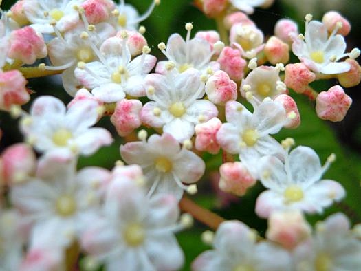 ミヤマガマズミの花。