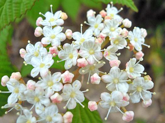 ミヤマガマズミの花のアップ。