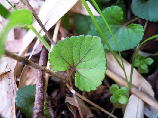 アカフタチツボスミレの葉。