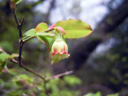 ウスノキの花。