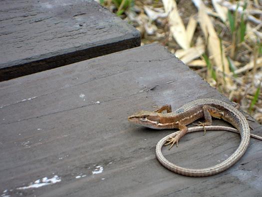 ニホンカナヘビ。