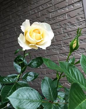 レモン&ジンジャ、咲きました^^