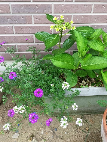 去年挿した紫陽花と、かわいい小花