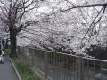 恩田川桜③