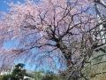 しだれ桜・昼②