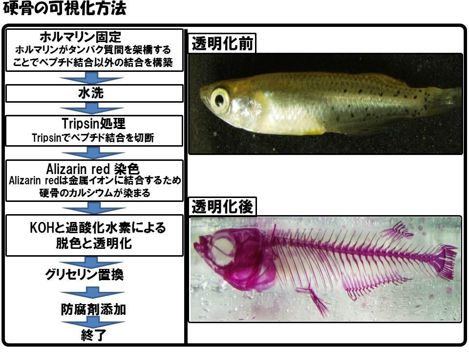 2016ガクタメ_透明骨格標本_01