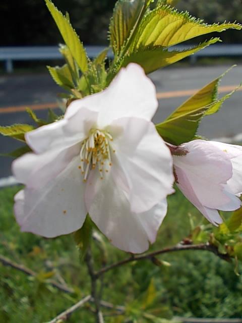 Prunus yedoensis Sotoorihime 20160405