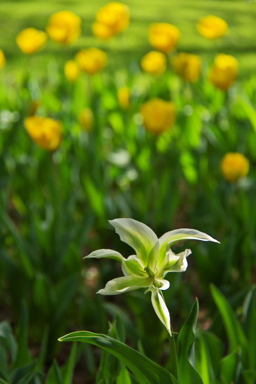 他の子よりも先に咲いていたチューリップ・なんだかかわいいよね