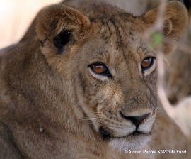 lion_cub_apwf.jpg