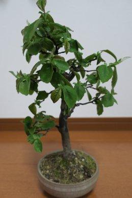 かりんの葉の伸長