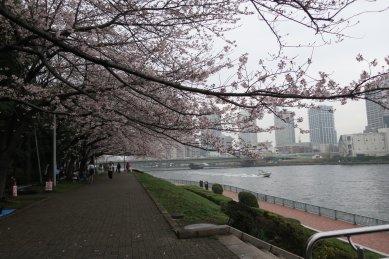 江戸湊跡の桜