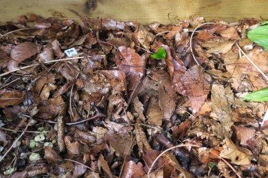 八重咲きエンレイソウの発芽