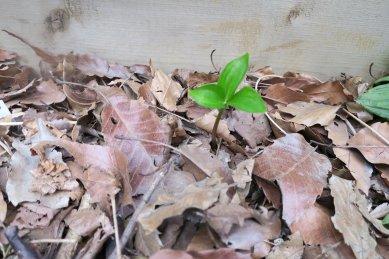八重咲きエンレイソウが伸長
