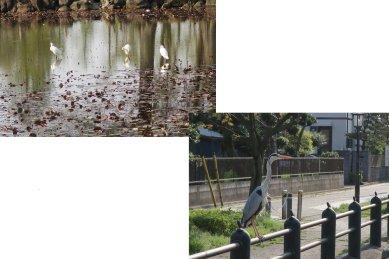 水元公園の鳥