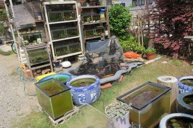 造園家の庭先のメダカ