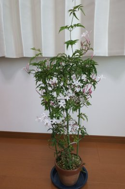 ジャスミンの花が咲き進む
