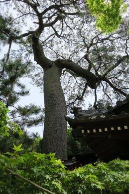 5葛飾神社マロマツ