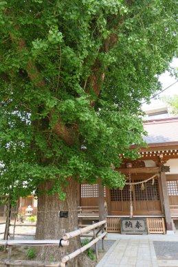 14八坂神社イチョウ