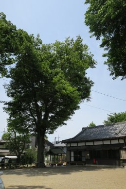 15八坂神社ケヤキ