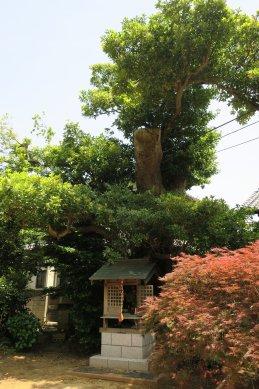 13光明寺タブノキ