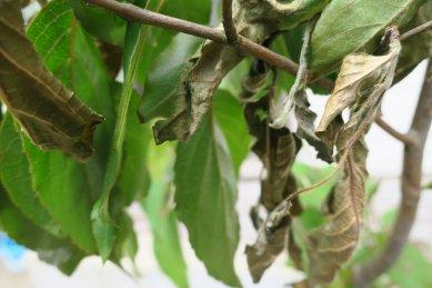 枯れたヒメシャラの枝