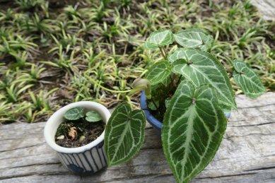 豆鉢にムカゴがこぼれ芽が
