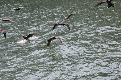 ウミウの群れが着水
