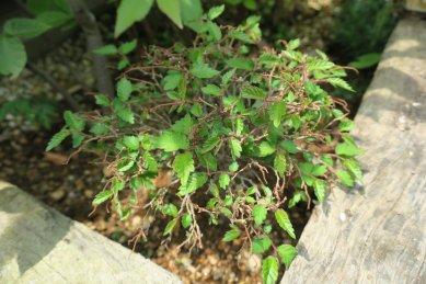養生中のミニケヤキから芽が