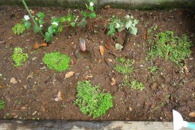 グランドカバー植込み後、灌水