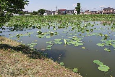 水生植物園・スイレン